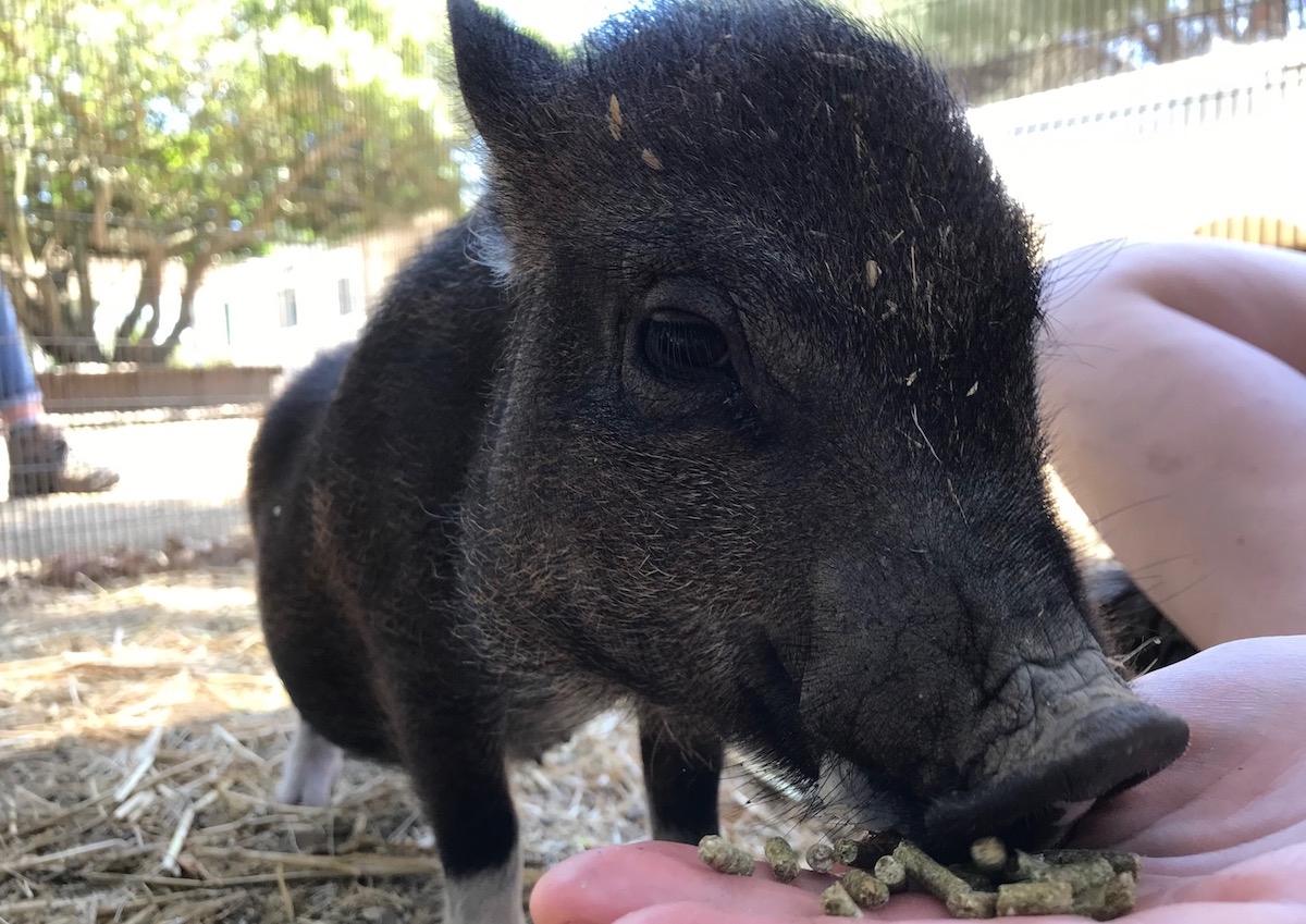 pot bellied pig training