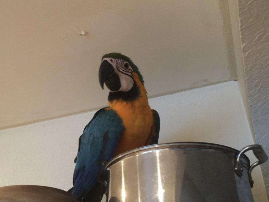 macaw flighted in kitchen