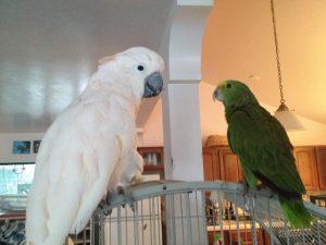 moluccan cockatoo and double yellow headed amazon