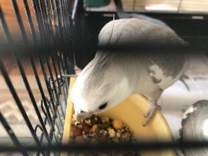 cockatiels eat seed