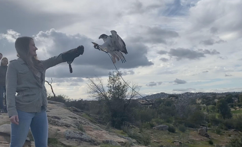 creance training with a hawk